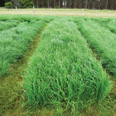 perennial ryegrass  meredith seed, Natural flower